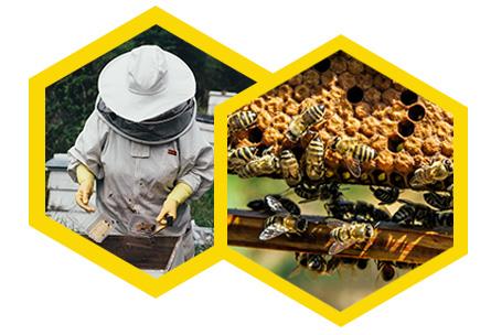 Australian Honey Bee